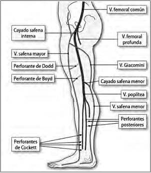 venas en la parte posterior de la pierna